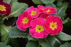 primroses Fotografia de Stock