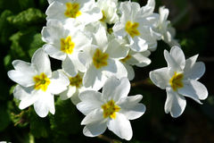 Primroses. Spring flowers in my garden. Solar May day Stock Image