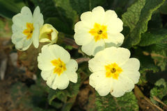 Primroses. Spring flowers in my garden. Solar May day Stock Photo