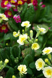 Primroses. Spring flowers in my garden. Solar May day Royalty Free Stock Photo