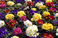 Primroses. Great assortment at different colors Royalty Free Stock Images