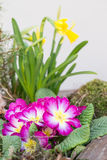 Primroses Stock Photography