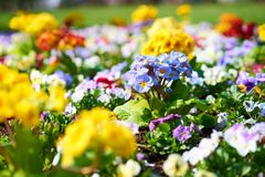 Primroses in blossom stock photography