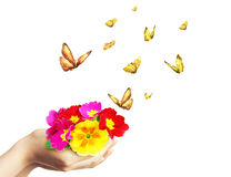 Primroses and butterflies Royalty Free Stock Photography