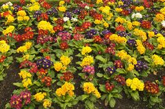 Primroses in Cong, Ireland. Primroses, a beautiful variety of colors in a flower bed in Cong, Ireland, where primroses grow wild Stock Images