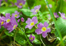 Primroses dew Royalty Free Stock Photography