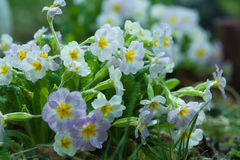 Primroses dew close up Royalty Free Stock Photo