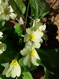 Primroses. Dew on primroses in the forest Stock Photo