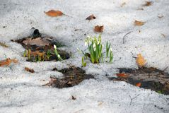 Snowdrops flowers. Primroses in early spring - flowers-snowdrops. Bloom in March in the snow Stock Image