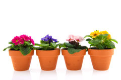 Primroses in earthenware flower pots. Colorful Primroses in earthenware flower pots isolated over white Royalty Free Stock Photos