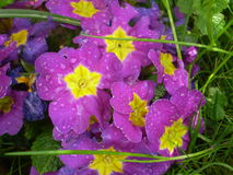 Primroses filled of morning dewdrops Royalty Free Stock Photography