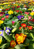 Primroses in a floriculture plantation Stock Image