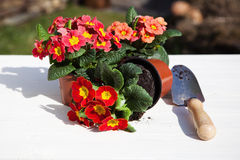 Primroses and hand shovel Stock Images