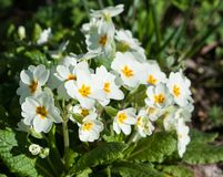 Primroses flowers. Royalty Free Stock Images