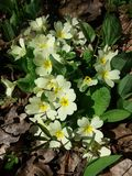 Primroses. In the forest Royalty Free Stock Photo