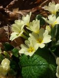 Primroses. In the forest Stock Photography