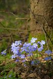 Primroses in the forest. Beautiful spring primroses, Hepatica, in the forest Stock Photo