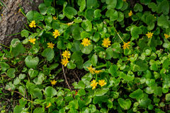 Primroses in forest, Buttercup spring, Ficaria verna. Natural organic background. Concept of first spring plants Royalty Free Stock Photography