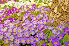 Primroses in a garden Royalty Free Stock Photography
