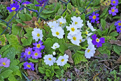 Primroses in a garden Royalty Free Stock Image