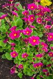 Primroses in the garden, early spring. Beautiful, bright flowers of red primrose stock photos
