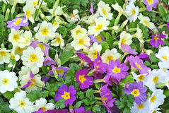 Primroses in a garden Royalty Free Stock Images