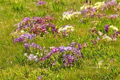Primroses in a garden Stock Image