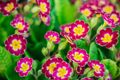 Primroses in the garden Stock Photography