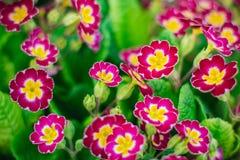 Primroses in the garden. Summer Stock Photography