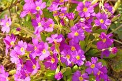 Primroses in a garden Royalty Free Stock Photography
