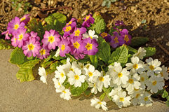 Primroses in a garden Stock Images