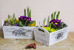 Primroses. Hyacinths and purple and red primroses  in pots Stock Images