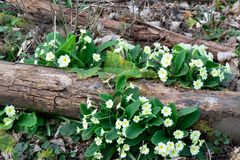 Primroses on log Stock Photography