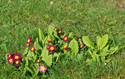 Primroses on meadow Royalty Free Stock Images