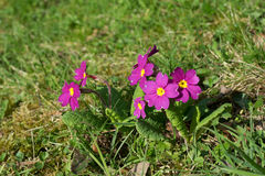 Primroses on meadow Stock Photography