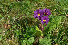 Primroses on meadow Royalty Free Stock Image
