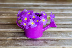 Primroses in mini watering can Stock Photography