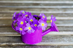 Primroses in mini watering cans Royalty Free Stock Photography