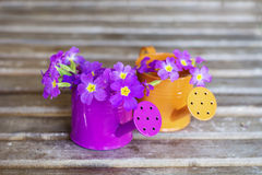 Primroses in mini watering cans Royalty Free Stock Photos