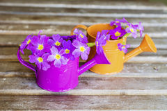 Primroses in mini watering cans Stock Photos