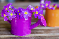 Primroses in mini watering cans Royalty Free Stock Images