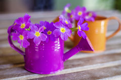 Primroses in mini watering cans Stock Image