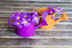 Primroses in mini watering cans Stock Images