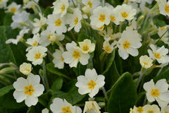 Primroses. Multiple yellow and white primroses with dark green foliage Royalty Free Stock Photography