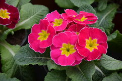 Primroses. Pink spring flowers primroses with foliage Stock Photography