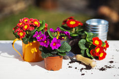 Primroses are potted. In flower pots and a small watering can Stock Photos