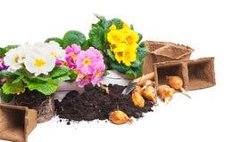 Primroses, potting soil Stock Photography