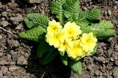 Primroses   (Primula) Stock Photos