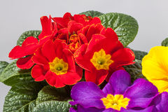 Primroses Royalty Free Stock Image