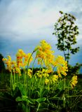 Primroses Primula Veris. On a springy cloudy day on a hill with a lone birch Stock Image